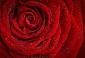 rose-1642970_1280